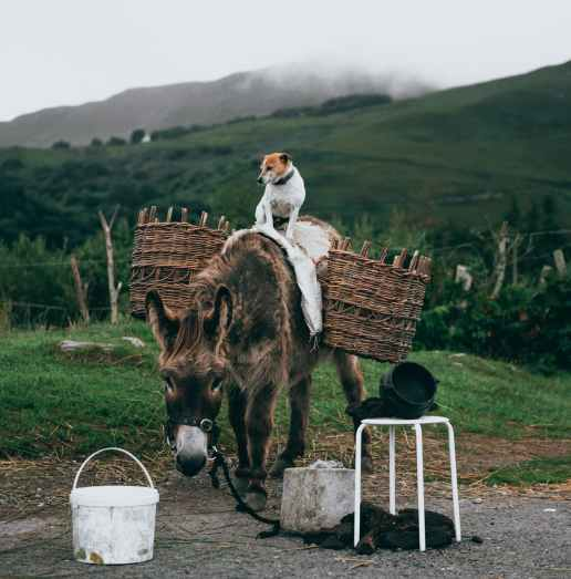 white and brown dog standing atop brown donkey carrying basket