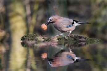 common jay bird with walnut on pond
